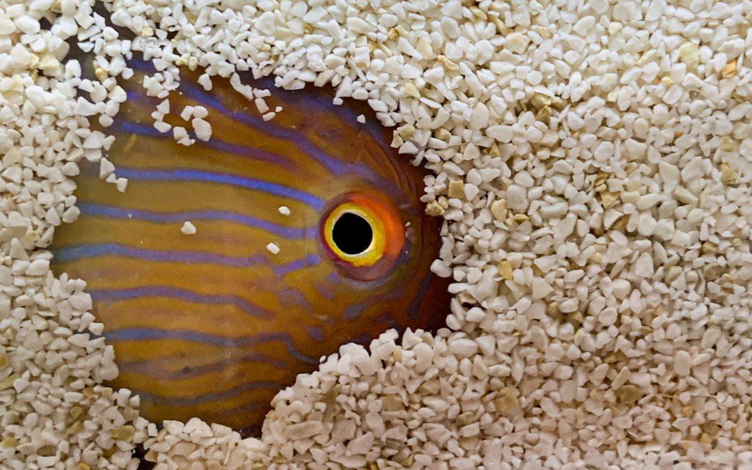 Un proyecto liderado por el IMEDEA (CSIC-UIB) estudia el reloj interno  de los peces