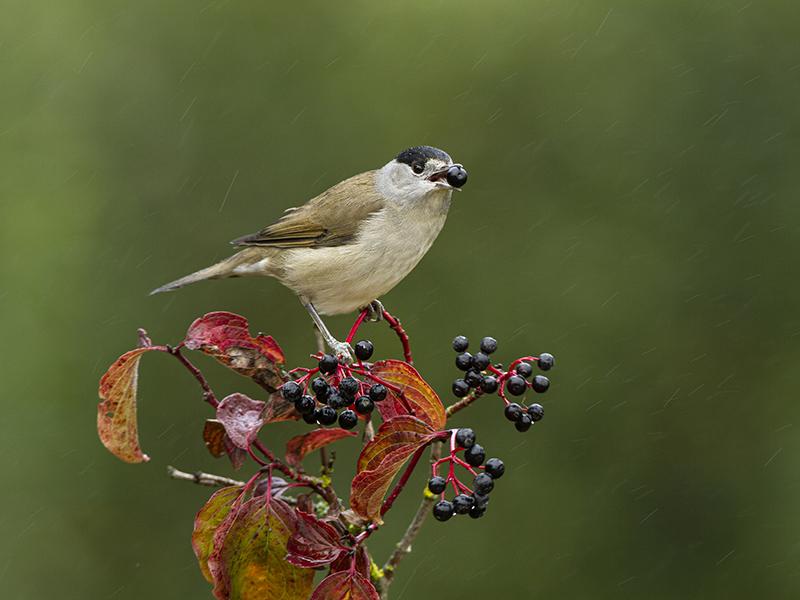 La migración de las aves limita la  adaptación de las plantas europeas al  cambio climático