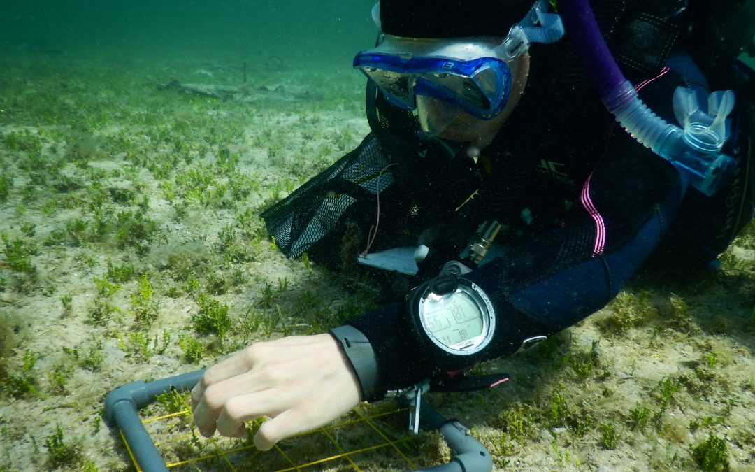 Investigadoras del IMEDEA inician una campaña en Cabrera para estudiar los efectos de un alga invasora sobre los ecosistemas marinos y su posible erradicación